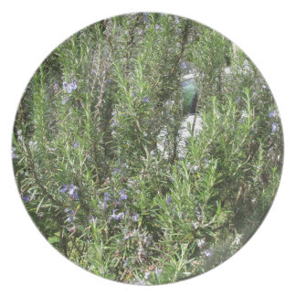 Rosemary plant with flowers . Tuscany, Italy Plate