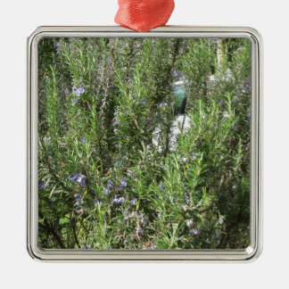 Rosemary plant with flowers . Tuscany, Italy Silver-Colored Square Ornament