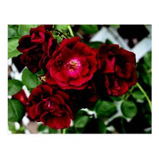 Roses 2 postcard