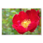 Roses Are Red Photo Print