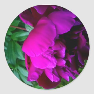 Roses pourpres luxuriants et beaux sticker rond