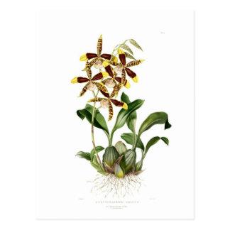 Rossioglossum grande postcard