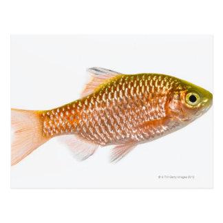 Rosy barb fish (Puntius conchonius) Postcard