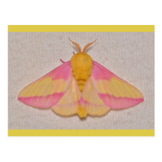 Rosy Maple Moth. Postcard