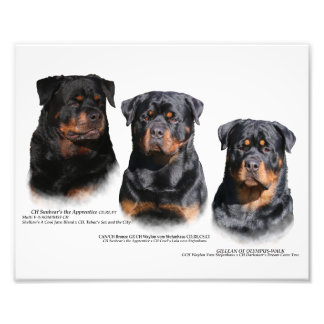 Rottweiler Photo Print