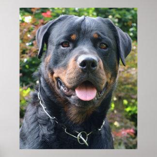 Rottweiler portrait poster