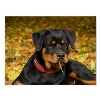 Rottweiler Pup Lying On The Ground In Forest Poster