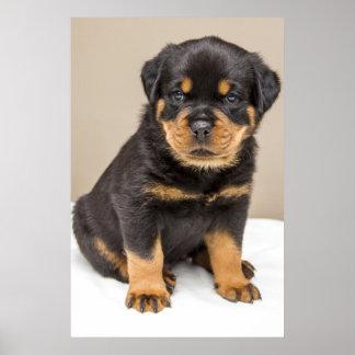 Rottweiler puppy portrait poster