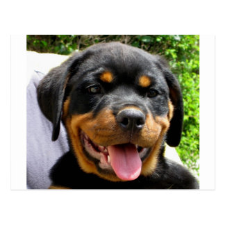 Rottweiler puppy postcard