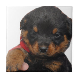 Rottweiler Puppy Red Tile