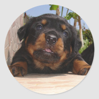 Rottweiler Puppy Trying To Climb Classic Round Sticker