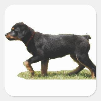 Rottweiler Square Sticker