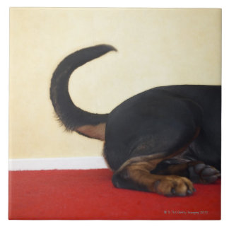 Rottweiler wagging tail, hind section tile