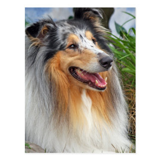 Rough collie dog beautiful photo postcard