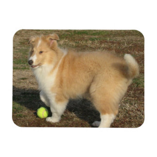 Rough collie puppy with ball magnet