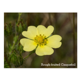 Rough-fruited Cinquefoil Wildflower Name Postcard