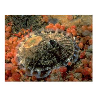 Rough keyhole limpet (Diodora aspera) Shell Postcard
