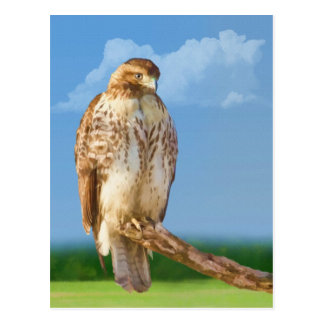 Rough Legged Hawk Postcard