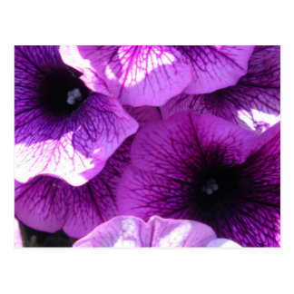 Row of Purple Wave Petunias Postcard