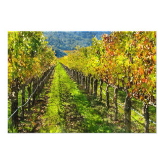 Rows of Grapevines in Napa Valley California Photo Print