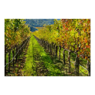 Rows of Grapevines in Napa Valley California Poster