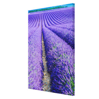 Rows of Lavender, Provence, France Canvas Print