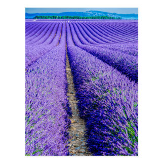 Rows of Lavender, Provence, France Postcard