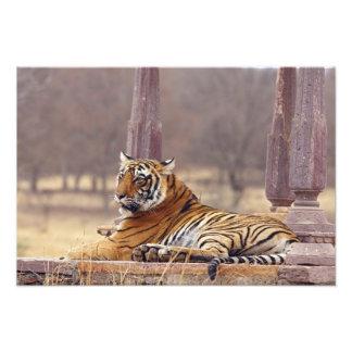 Royal Bengal Tiger at the ceaph, Photograph