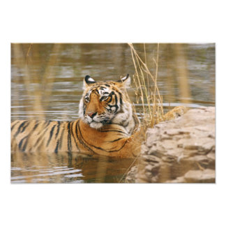Royal Bengal Tiger in the forest pond, Photo Print