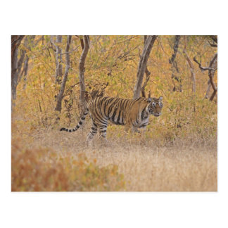 Royal Bengal Tiger in the forest, Ranthambhor Postcard