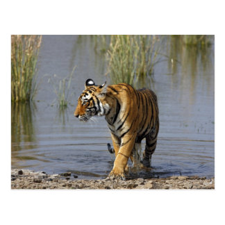Royal Bengal Tiger in the Rajbagh Lake, Postcard