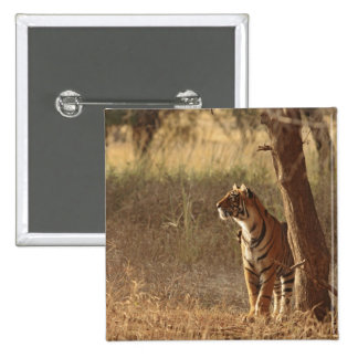 Royal Bengal Tiger on look out for prey, 2 Inch Square Button