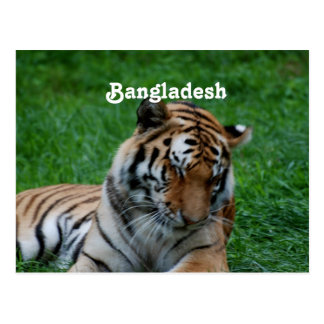 Royal Bengal Tiger Postcard