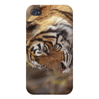 Royal Bengal Tiger, Ranthambhor National Park, 2 iPhone 4 Covers
