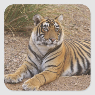 Royal Bengal Tiger sitting outside grassland, 3 Square Sticker
