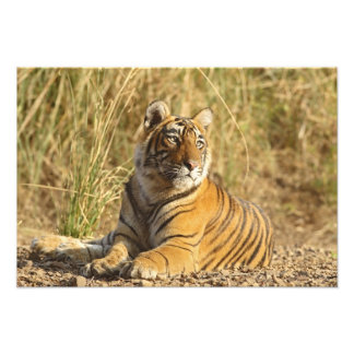 Royal Bengal Tiger sitting outside grassland, Photo Print