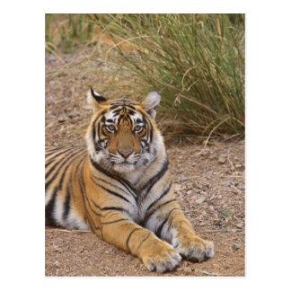 Royal bengal Tiger sitting outside grassland, Postcard