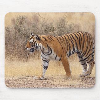 Royal Bengal Tiger walking around dry Mouse Pad