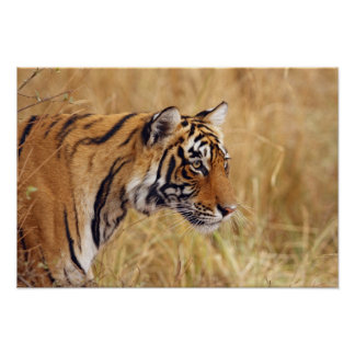 Royal Bengal Tiger watching from the 2 Poster