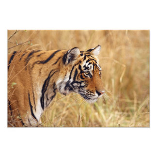 Royal Bengal Tiger watching from the Photo Print
