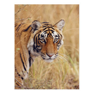 Royal Bengal Tiger watching from the Postcard
