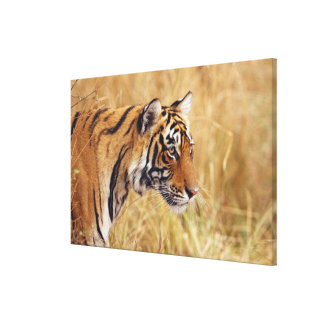 Royal Bengal Tiger watching from the Stretched Canvas Prints