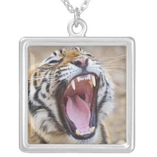 Royal Bengal Tiger yawning, Ranthambhor National Silver Plated Necklace