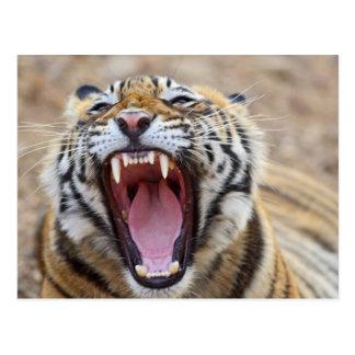 Royal Bengal Tiger yawning; Ranthambhor Postcard