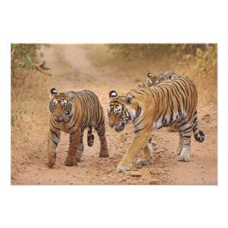 Royal Bengal Tigers on the move, Ranthambhor 2 Photo