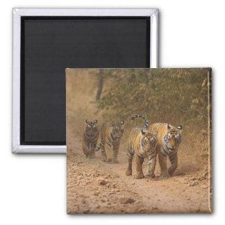 Royal Bengal Tigers on the move, Ranthambhor Refrigerator Magnets