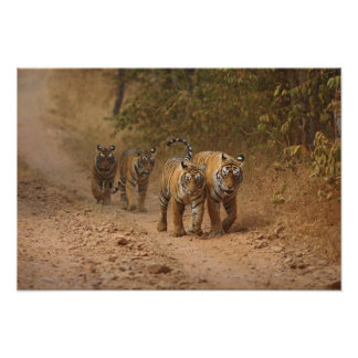 Royal Bengal Tigers on the move, Ranthambhor Poster
