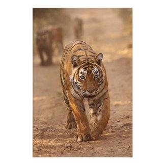 Royal Bengal Tigers on the track, Ranthambhor Art Photo