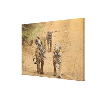 Royal Bengal Tigers on the track, Ranthambhor Stretched Canvas Print