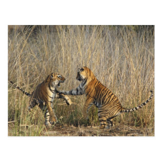Royal Bengal Tigers play-fighting, Ranthambhor Postcard